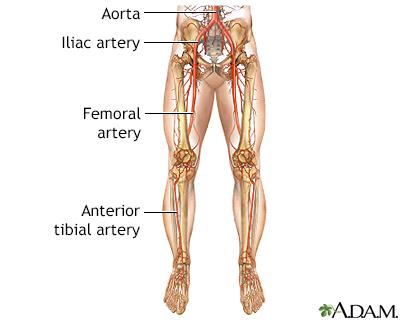 Peripheral veins anatomy